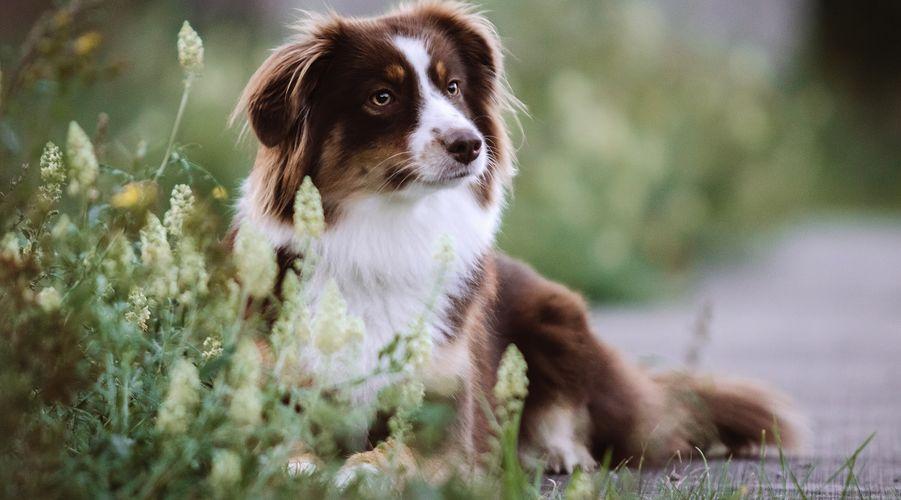 Australian Shepherd Unterschatzter Modehund Martin Rutter