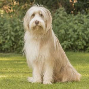 Lassie hund rase