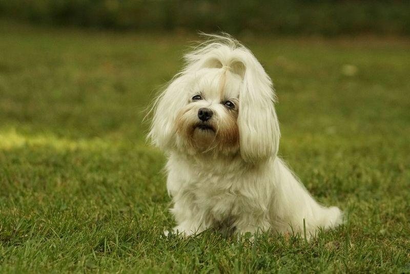 Malteser Martin Rutter Dogs