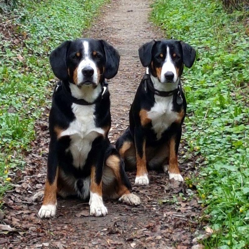 Entlebucher Sennenhund Martin Rutter Dogs