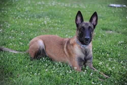 Malinois Martin Rutter Dogs