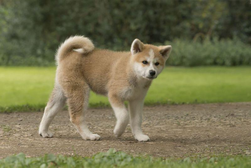 Akita Martin Rutter Dogs