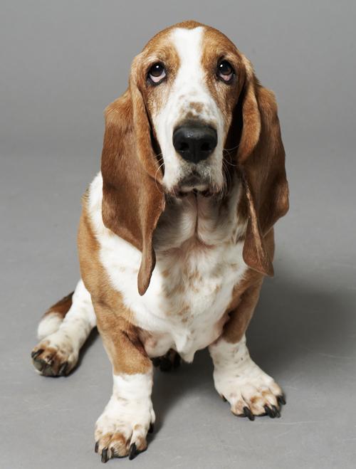 basset hound martin r tter dogs. Black Bedroom Furniture Sets. Home Design Ideas