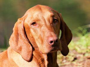 Dogs Rassekunde Der Magyar Vizsla Martin Rutter Dogs Wil St Gallen